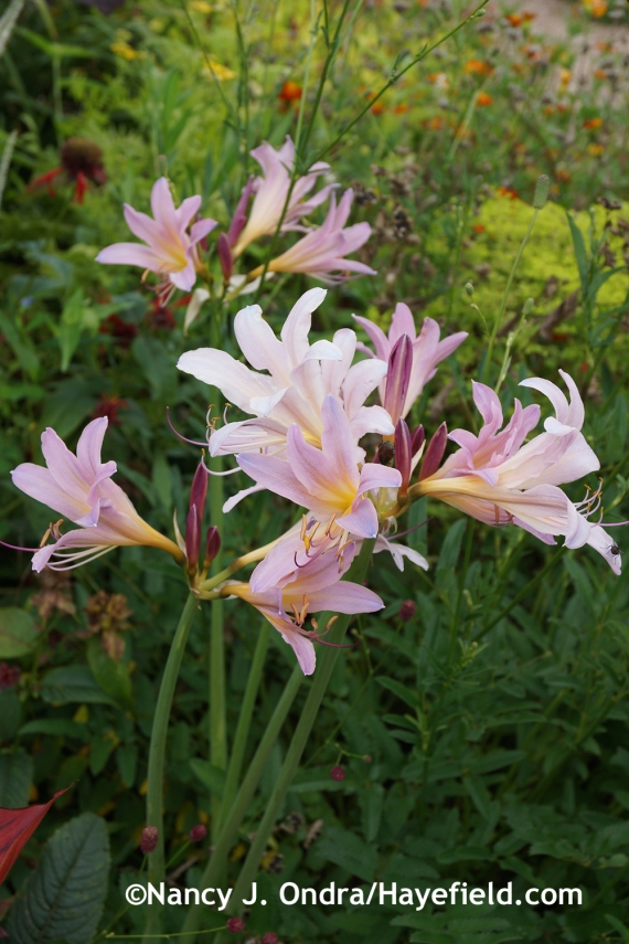 Naked ladies (Lycoris squamigera) at Hayefield.com