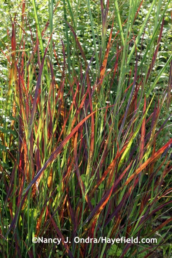 'Cheyenne Sky' switch grass (Panicum virgatum) at Hayefield.com