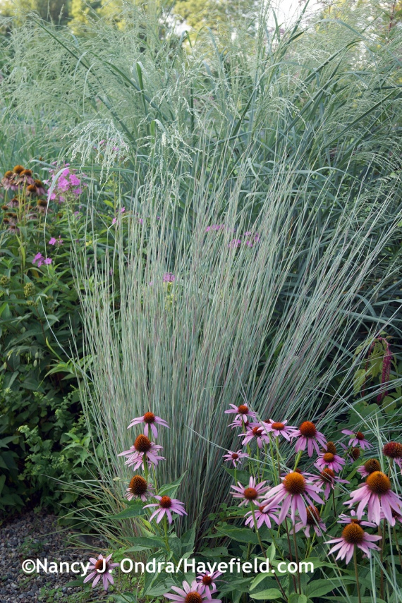 'The Blues' little bluestem (Schizachyrium scoparium) and purple coneflower (Echinacea purpurea) with 'Dewey Blue' bitter panic grass (Panicum amarum) at Hayefield.com