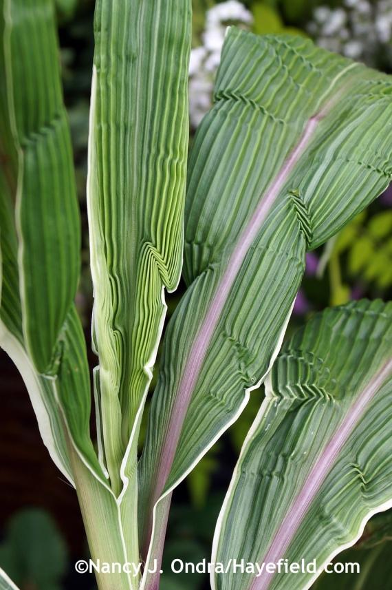 Variegated Malaysian palm grass (Setaria palmifolia 'Variegata') at Hayefield.com