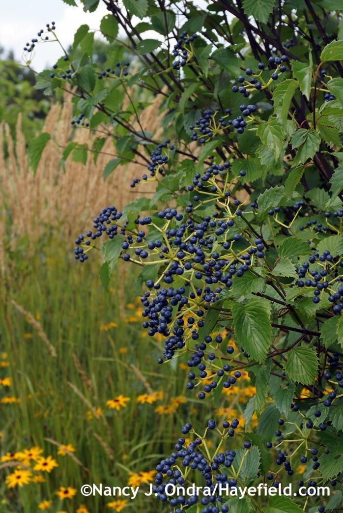 Blue Muffin viburnum (Viburnum dentatum 'Christom') at Hayefield.com