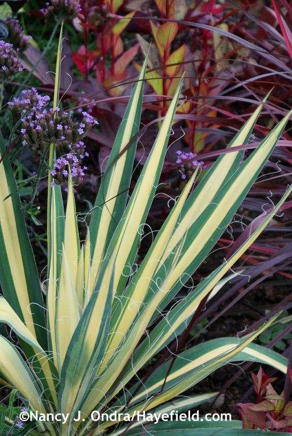 'Color Guard' yucca (Yucca filamentosa) at Hayefield.com