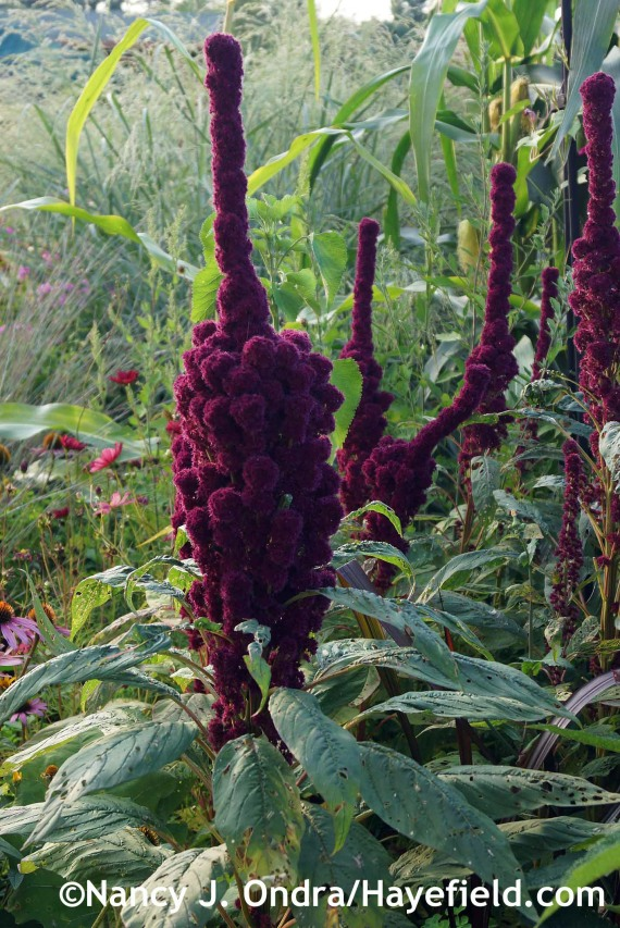Amaranthus' Elephant Head' at Hayefield.com