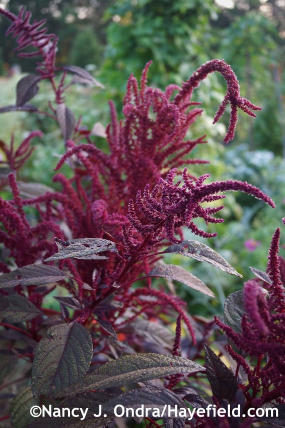 Amaranthus 'Hopi Red Dye' at Hayefield.com