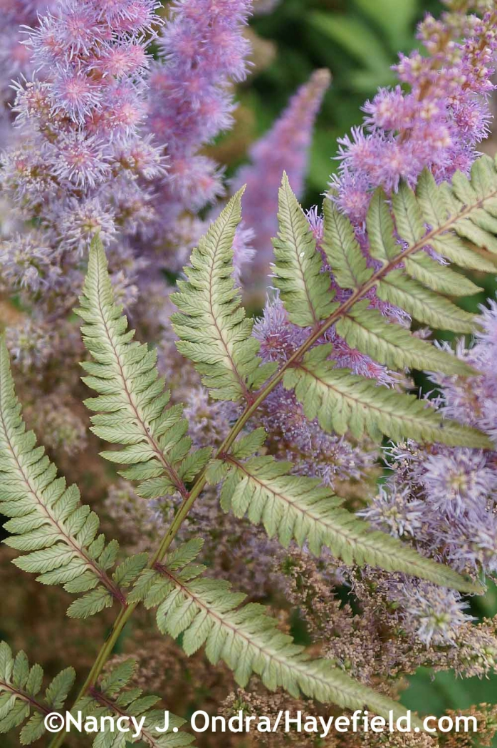Athyrium Pewter Lace at Hayefield.com