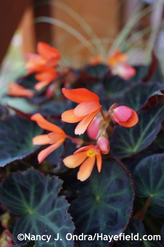 Begonia Sparks Will Fly at Hayefield.com