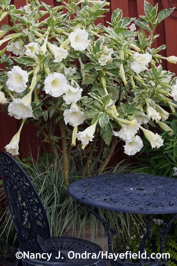 Brugmansia suaveolens Variegata at Hayefield.com