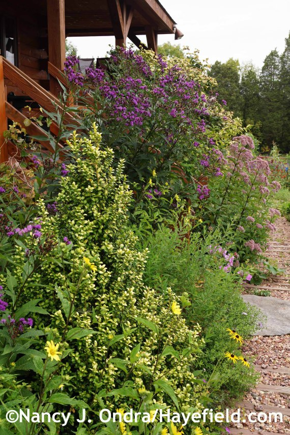 Buxus latifolia Latifolia Maculata at Hayefield.com