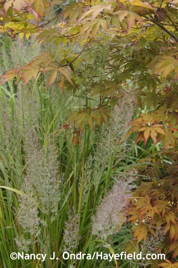 Calamagrostis brachytricha at Hayefield.com