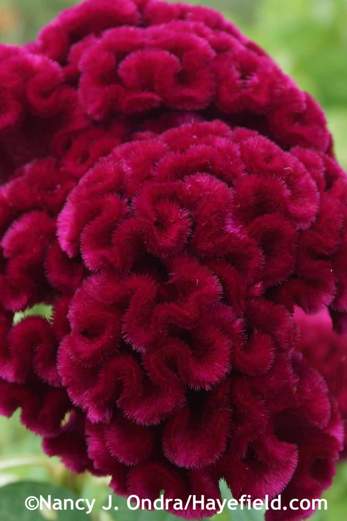 Celosia argentea Cristata Group 'Cramers' Burgundy' at Hayefield.com