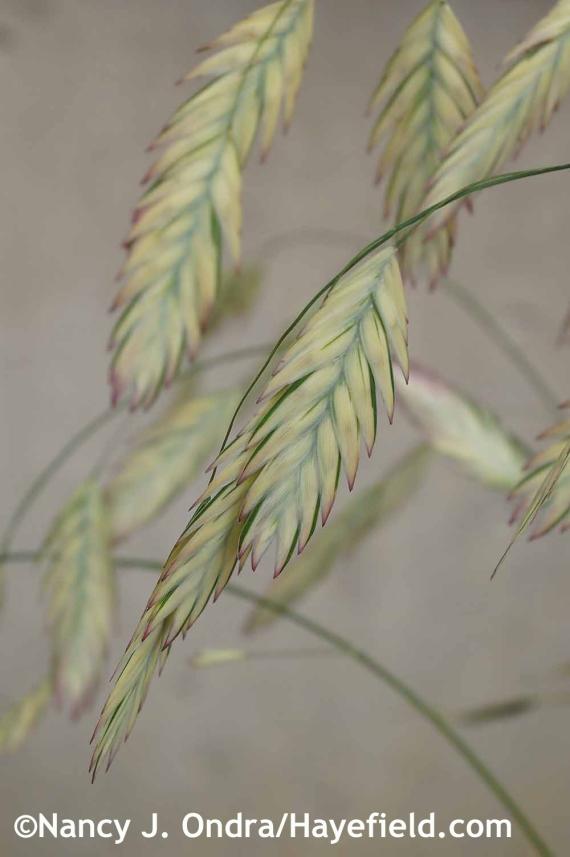 Chasmanthium latifolium River Mist seedheads at Hayefield.com