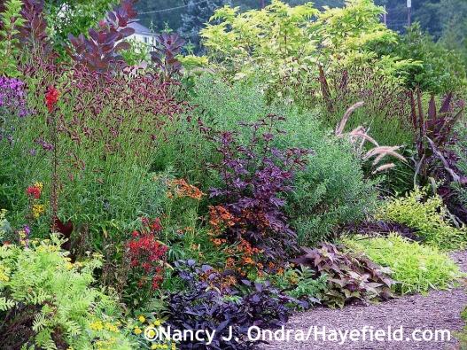 Hibiscus acetosella Mahogany Splendor at Hayefield.com