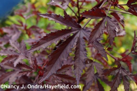 Hibiscus acetosella Mahogany Splendor leaf at Hayefield.com