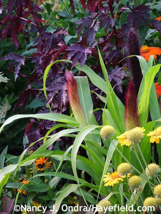 Hibiscus acetosella Mahogany Splendor with pennisetum Jade Princess at Hayefield.com