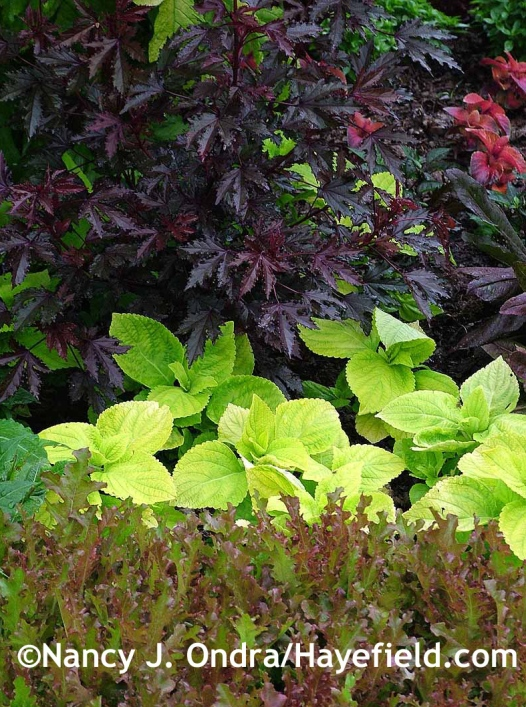Hibiscus acetosella Maple Sugar with Lettuce Mascara with Giant Exhibition Limelight coleus at Hayefield.com
