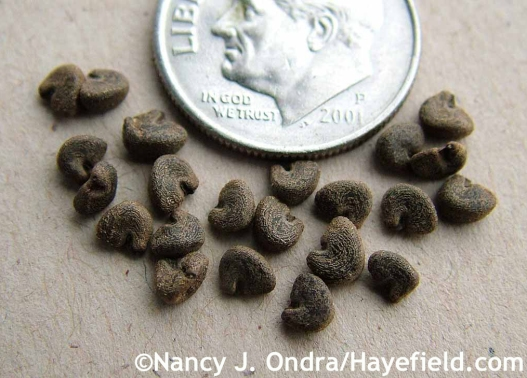 Hibiscus acetosella seeds at Hayefield.com