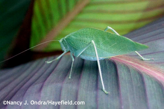 Katydid at Hayefield.com