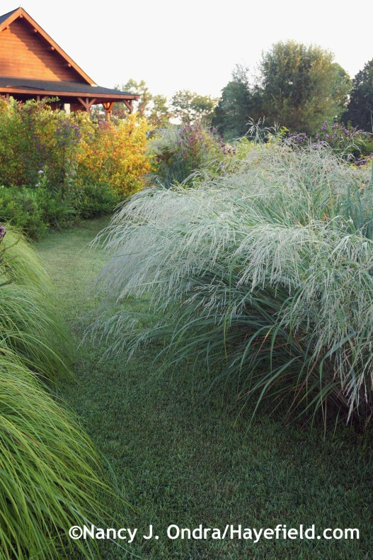 Panicum amarum in bloom at Hayefield.com