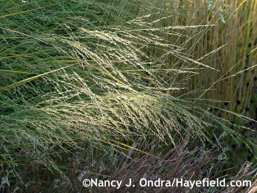 Panicum amarum in seed at Hayefield.com