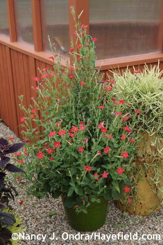 Petunia exserta at Hayefield.com