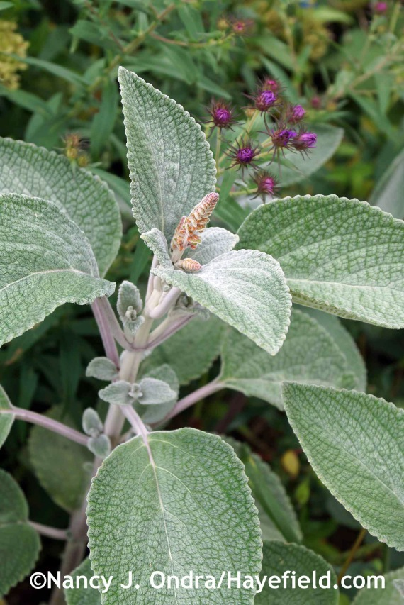 Plectranthus argentatus 'Silver Shield' at Hayefield.com
