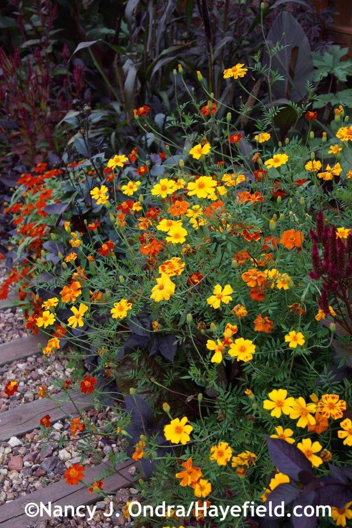 Tagetes patula at Hayefield.com