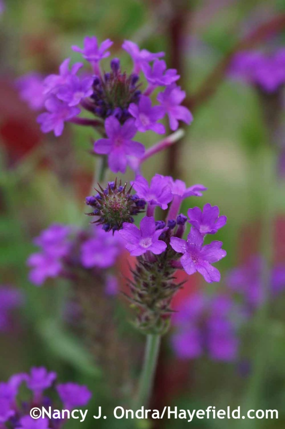 Verbena rigida at Hayefield.com