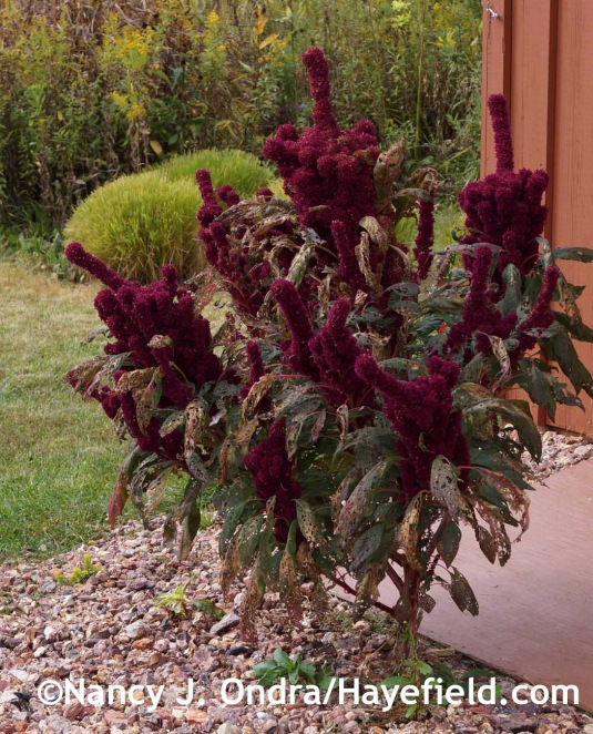 Amaranthus 'Elephant Head' at Hayefield.com