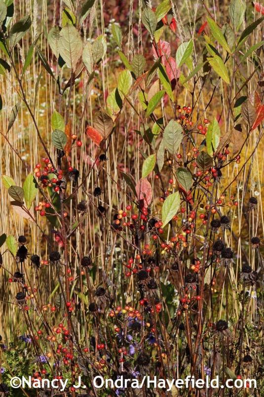 Aronia arbutifolia at Hayefield.com