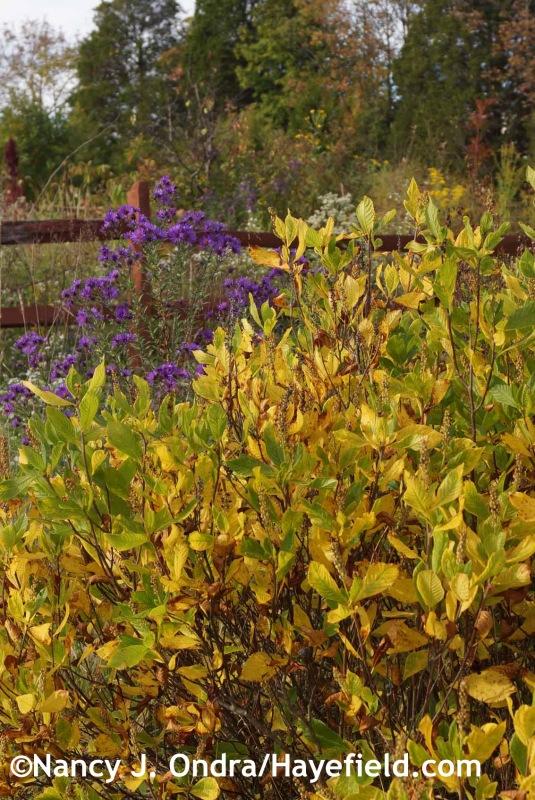 Clethra alnifolia 'Ruby Spice' at Hayefield.com