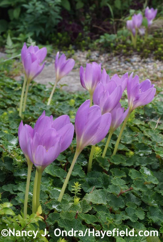 Colchicum 'Rosy Dawn' at Hayefield.com