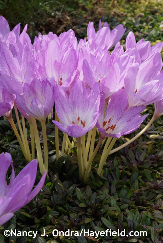 Colchicum 'Violet Queen' at Hayefield.com