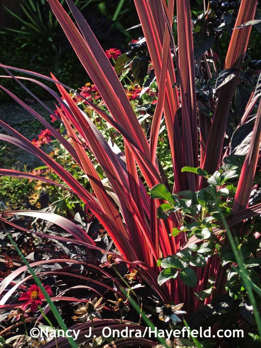 Cordyline banksii Electric Pink at Hayefield.com