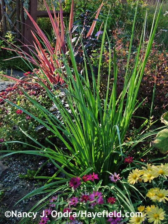 Eryngium pandanifolium 'Physic Purple' at Hayefield.com