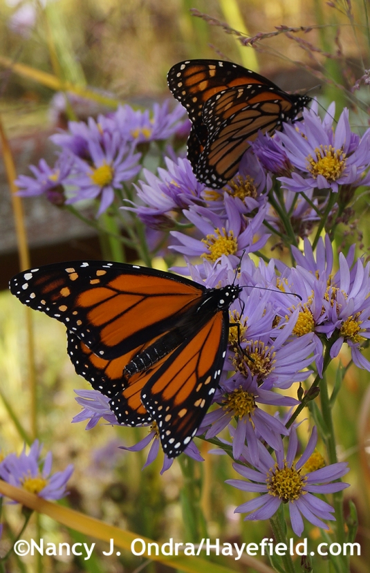 Monarchs on Aster tataricus [Nancy J. Ondra/Hayefield.com]