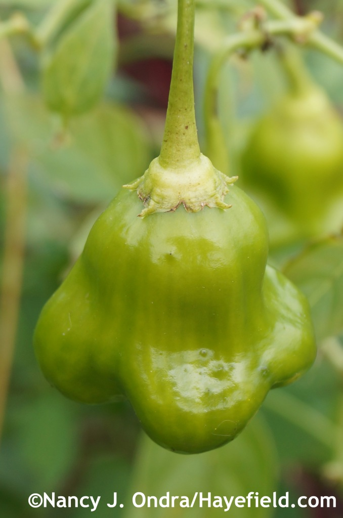 Mystery sweet pepper at Hayefield.com