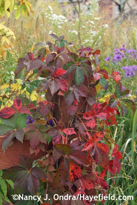 Parthenocissus quinquefolia at Hayefield.com