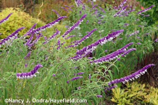 Salvia leucantha at Hayefield.com