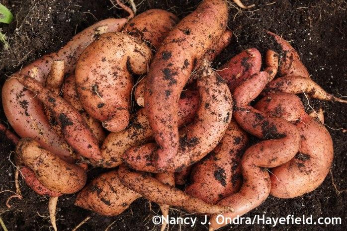 Sweet potato Beauregard at Hayefield.com