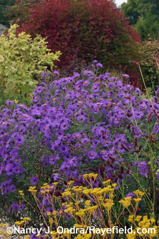 Symphyotrichum novae-angliae Hella Lacy at Hayefield.com