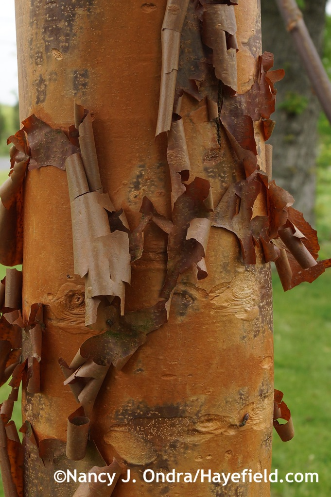 Acer griseum bark at Hayefield.com