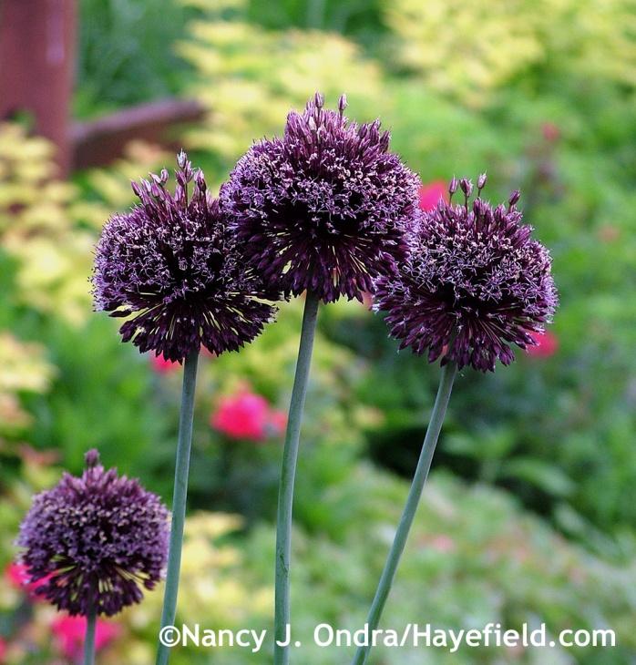 Allium Forelock at Hayefield.com