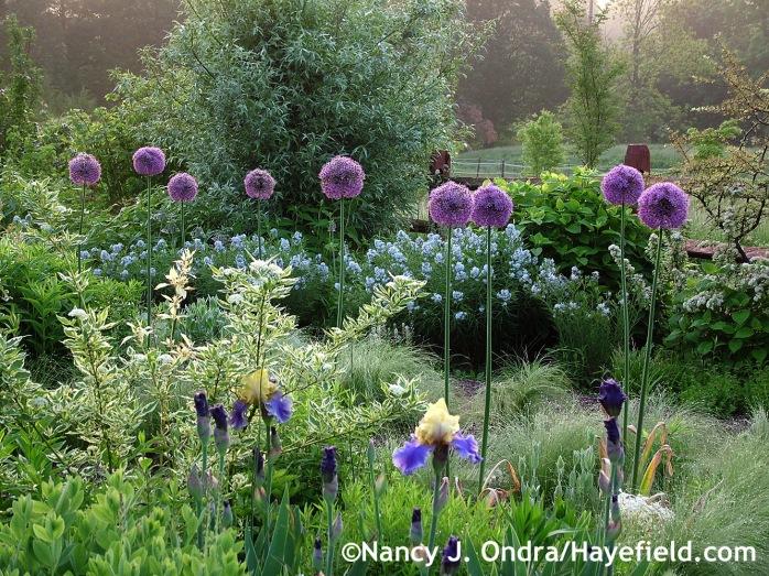 Allium Gladiator at Hayefield.com