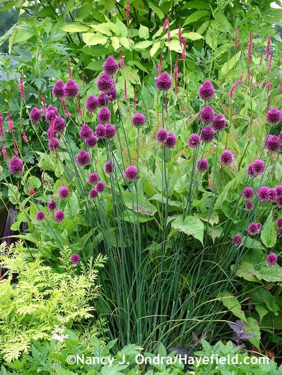 Allium sphaerocephalon Tanacetum vulgare Isla Gold Persicaria amplexicaulis Taurus at Hayefield.com