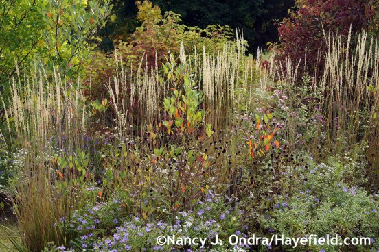Calamagrostis x acutiflora Karl Foerster in The Shrubbery at Hayefield.com