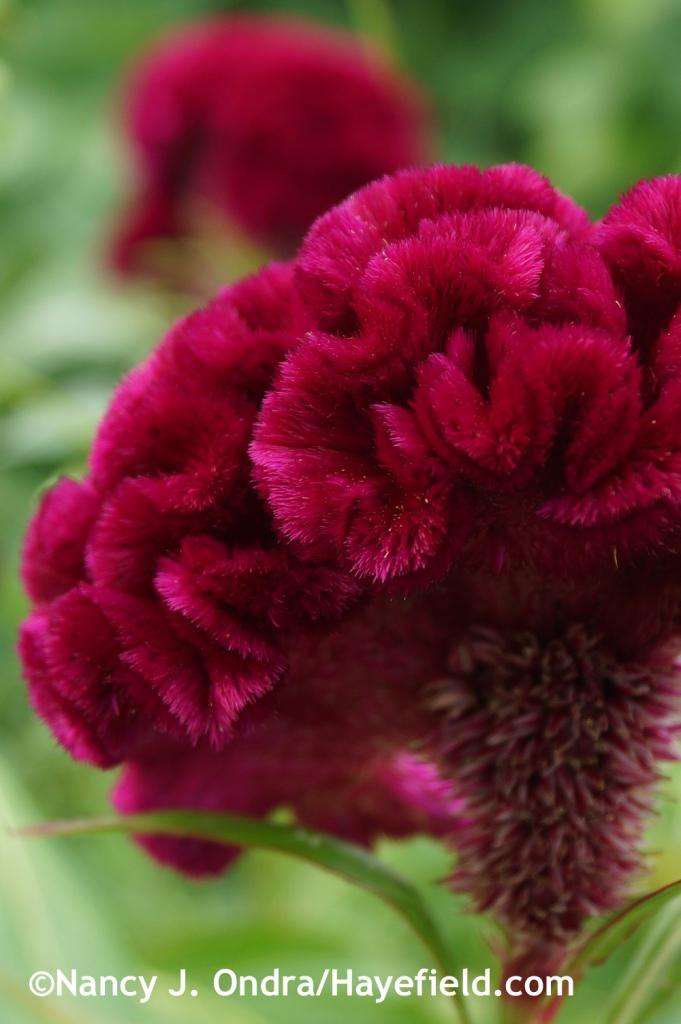 Celosia argentea Cramers Burgundy at Hayefield.com