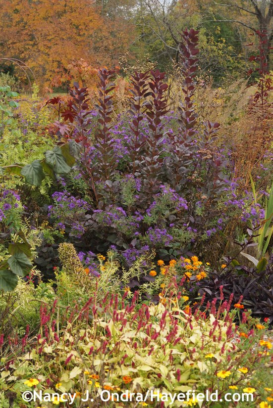 Cotinus Symphyotrichum Hella Lacy and Persicaria Golden Arrow at Hayefield.com