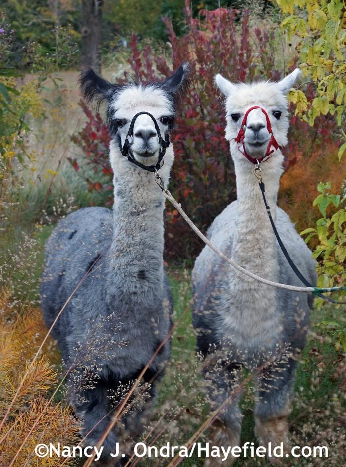 Duncan and Daniel the alpacas at Hayefield.com