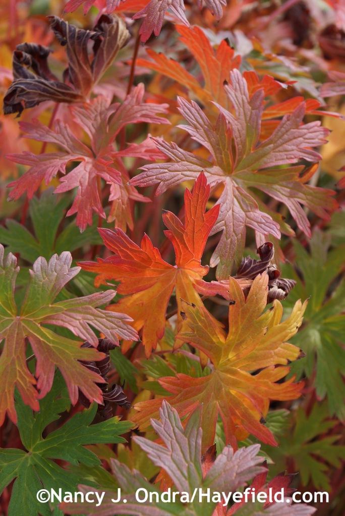 Geranium Brookside fall color at Hayefield.com