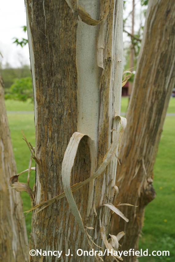 Heptacodium miconioides peeling bark at Hayefield.com